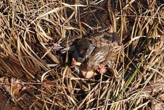 Rana temporaria, copula (aspisatra) Tags: switzerland ticino rana copula temporaria