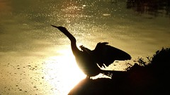 Anhinga (Jim Mullhaupt) Tags: sunset lake black bird silhouette river pond flickr florida greeneyes swimmer bradenton freshwater anhinga spearfish mullhaupt jimmullhaupt
