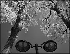 F_DSC0257-BW-Nikon D90-Nikkor 16-85mm-May Lee 廖藹淳 (May-margy) Tags: maymargy fdsc0257bw bw 黑白 黑板樹與路燈 紅外線攝影 irphotography 台北市 taipeicity 中華民國 repofchina nikond90 nikkor1685mm maylee廖藹淳 心象攝影 心象