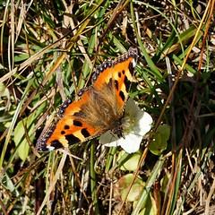 DSC09130b (dreptacz) Tags: motyl kwiat sony slt lustrzanka cyfrowy flickrunitedaward zakopane tatry polska owad