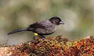Cerquero Musliamarillo | Yellow-thighed Finch (Pselliophorus tibialis)