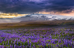 Lupinated landscape (snowyturner) Tags: iceland lupins volcanic ice snow flowers evening clouds landscape vik