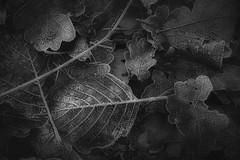 *** (pszcz9) Tags: zbliżenie przyroda nature natura closeup liść leaf szron szadź frost bw blackandwhite monochrome czarnobiałe beautifulearth sony a77