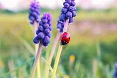 (frogghyyy) Tags: macro macrophotography macros macroscene macronature flower fiore purple viola ladybug red coccinella nature natura natureshot naturescene naturephoto grass green verde outdoor canoneos1000d
