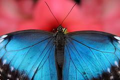 Papillons en Liberté 2017 - Photo 40 (Le Chibouki frustré) Tags: nikon nikond700 d700 700 fx fullframe montréal montreal homa hochelagamaisonneuve macro macrophotographie botanicalgarden jardinbotanique jardinbotaniquedemontréal montrealbotanicalgarden butterfly insect insects bokeh dof pdc papillonsenliberté2017 butterfliesgofree2017 closeuplens closeupfilter