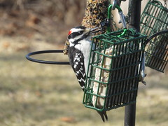 Male Hairy Woodpecker And Woodpecker Treat Suet IMG_6977 (Ted_Roger_Karson) Tags: canonpowershotsx700hs 30xzoom canon powershot sx280 hs northern illinois back yard friends backyard animals birds bird feeder seed cake suet miniature compact pocket camera telephoto thisisexcellent twop test photo hand held handheldcamera minicompactdigitalpocketcamera cardinal woodpecker
