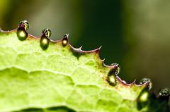 Leaf with water drops (Susanne Hjertø Wiik) Tags: naturlandskapnaturfenomen norge steder tingfenomen vær dugg geitmyra høst oslo skolehagen vanndråper årstid