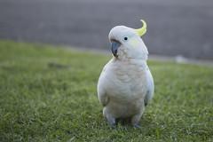 Cockatoo on the footpath (S♡C) Tags: outdoor bird cockatoo sulphurcrestedcockatoo parrot australian sydney tamron 60mm