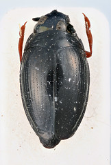 Gyrinus venezolensis Ochs, 1953 (Biological Museum, Lund University: Entomology) Tags: coleoptera gyrinidae gyrinus venezolensis mzlutype05577 taxonomy:binomial=gyrinusvenezolensis