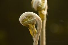 fern (taekevandersluis) Tags: fern varen koningsvaren oranjewoud macro natuur sad touch mindful imagination green brown plant