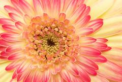 Gerbera Daisy (Sandyp.com) Tags: gerberadaisy macro daisy flower topazsoftware sonyalpha sonya7rii
