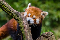 Red Panda (Mathias Appel) Tags: grã¼n red panda animal tier roter kleiner nikon bokeh cute adorable sweet niedlich süs sues suess tree green species bedrohte tierart zoo tierpark deutschland germany female weiblich young jungtier bamboo baum jung ears ohren face gesicht tail schwanz nose nase orange fur fell high iso animals nature natur wildlife bedroht ailurus fulgens vintage 2015 mozilla firefox feet paws paw foot wochenende weekend spring frühling depth depthoffield field blur male männlich endangered d7100