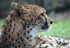 Cheetah (ditmaliepaard) Tags: cheetah safariparkbeeksebergen hilvarenbeek smerigraam a6000 sony explore122