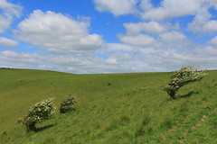 Can you tell which way the wind blows? (jeanettewhitmarsh) Tags: clouds eastsussex lewes downs hawthorn tree