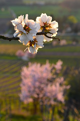 Almond-blossom-high-above-the-Rhine-Valley-II (sandrasternenlicht) Tags: spring blossom almond bergstrase hessen hessia vinyard march pink frühjahr frühling mandelblüte bokeh weis rosa weinberge