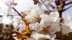 Die Hoffnung (Alessio Bertolone) Tags: fiori flowers luce light speranza trentino it italy italia hope