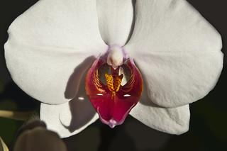 Orquidea mariposa (Orquid phalaenopsis)