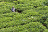 Tea Picker in Sri Lanka (Andre Hauschild) Tags: 60s andrehauschild canon canoneos700d designpräsentationen otherkeywords schwindegg srilanka teepflücker tea teapicker tee