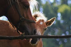 Nice to meet you (Nicky@Photography) Tags: animal cheval poulain contrejour mornant rhône france