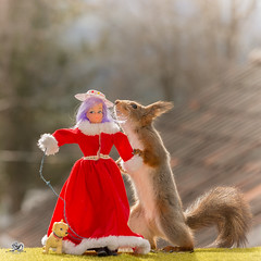 lady with the hat (Geert Weggen) Tags: red nature animal squirrel rodent mammal cute look closeup stand funny bright sun backlight staring watching hold glimpse peek up tail message communication letter woodenframe capitals numbers school child education learn baby word alphabet teacher arm woman doll dress couple partner love hat dog happy geert weggen sweden jämtland ragunda bispgården