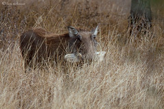 Warthog (leendert3) Tags: warthog leonmolenaar krugernationalpark wildlife nature mammals southafrica ngc npc sunrays5