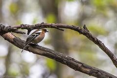 IMGP8660 (michałfarbiszewski) Tags: finch male sing forest bird sigma 50500 apo dg os hsm pentax k70