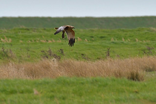 Marsh Harrier (image 1 of 2)