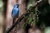 Blue Dacnis (Mario Arana G) Tags: 7d ave bird bluedacnis bocatapada cr canon costarica florayfauna marioarana naturephotography sancarlos wildlifecostarica