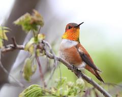 Rufous hummingbird (jlcummins - Washington State) Tags: rufoushummingbird washingtonstate yakimacounty bird fauna canon tamronsp150600mmf563divcusd nature backyardbirds