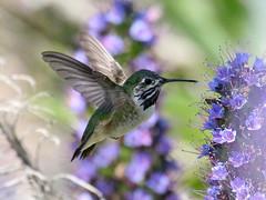 Calliope Hummingbird, Selasphorus calliope (bruce_aird) Tags: calliope