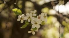 Cherry blossom (Caropaulus) Tags: 50mm alpha7 blossom blur bokeh cerisier cherry flower minolta rokkor spring tree vintage