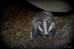 Boar Badger (Meles meles) (Alan Woodgate) Tags: