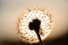 Dandelion eclipse (Ir3nicus) Tags: 105mm28vr ausen gegenlicht geringeschärfentiefe löwenzahn makro nahaufnahme natur pflanze pusteblume sonne geldern nordrheinwestfalen deutschland nikond750 dslr fullframe outdoor nature dandelion sun backlight backlit bright contrast plant macro closeup
