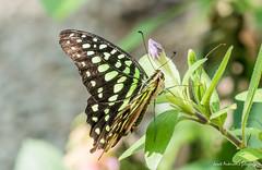 JM foto75-145 (janetankersmit) Tags: 2017 vlinders vlindertuin zutphen