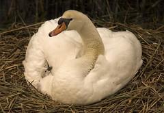 D81_2276 (charlesvanlangeveld) Tags: knobbelzwaan zwanen knobbelzwanen mute swan cygnus olor white bird animal
