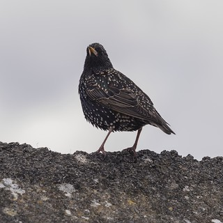 Starling in Spring