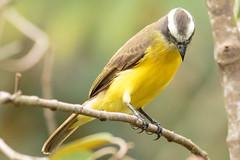 Social Flycatcher (grbirding) Tags: socialflycatcher