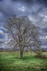 Floreciendo otro año.... (Javier Arcilla) Tags: cerezo arbol flor floreciendo paisaje nubes nublado hdr verde nauraleza pentax pentaxk70 k70 pentax1855mm 1855nn