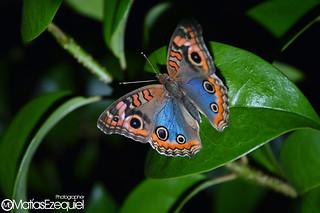 Mariposa Butterfly 2