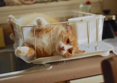 Jimmy (rootcrop54) Tags: jimmy orange ginger male tabby cat funny clown dish drain drainer kitchen macska kedi 猫 kočka kissa γάτα köttur kucing gatto 고양이 kaķis katė katt katzen kot кошка mačka maček kitteh chat ネコ