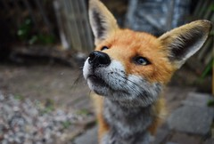 This ginger really has stolen my heart... (lisheeny) Tags: red fox vulpes vulpine animal wild wildlife british