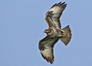 Buzzard (Wild) - No nonsense Raptor