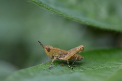 Grasshopper nymph (Judit T) Tags: macro nature grasshopper insect