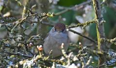 Female Blackcap (debsiep1) Tags: female blackcap bird suffolk nikon