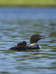 Napping Loon (maryanne.pfitz) Tags: commonloons gaviaimmer napping loons divingbird wildlife water lake swimming sleeping tomahawk wisconsin lincolncounty mapcl0303 maryannepfitzinger