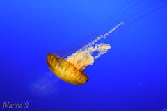 Jellyfish (marinas8) Tags: jellyfish nikon underwater d5300 blue nature ngc