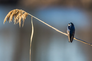 Phragmite and the Tree Swallow