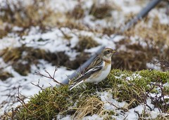 Snow Bunting / Snjótittlingar (ingolfssonvalur) Tags: snjótittlingur plectrophenax nivalis snow bunting bird birds