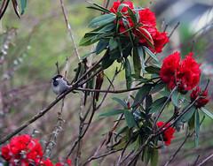 Aldergrove April 17 05 (richardjack57) Tags: britishcolumbia birds flower spring depthoffield aldergrove langley canoneos6d canon canonzoom70200mm 604 vancouver lowermainland