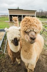 medina-7729 (FarFlungTravels) Tags: alpaca animal farm medinacounty onefineday shear wool